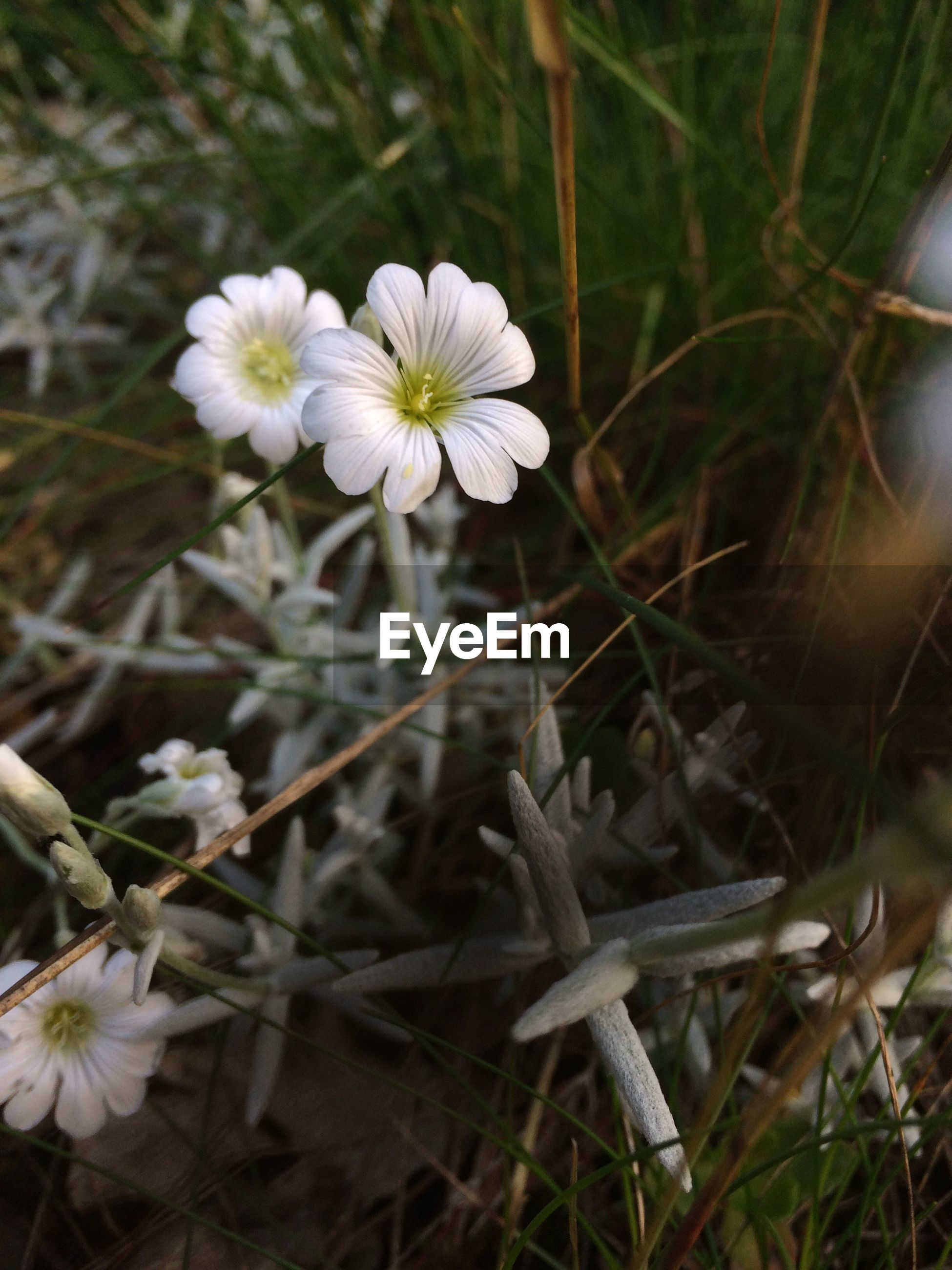 flower, growth, fragility, freshness, petal, white color, plant, focus on foreground, nature, beauty in nature, close-up, stem, flower head, blooming, field, in bloom, wildflower, day, no people, outdoors