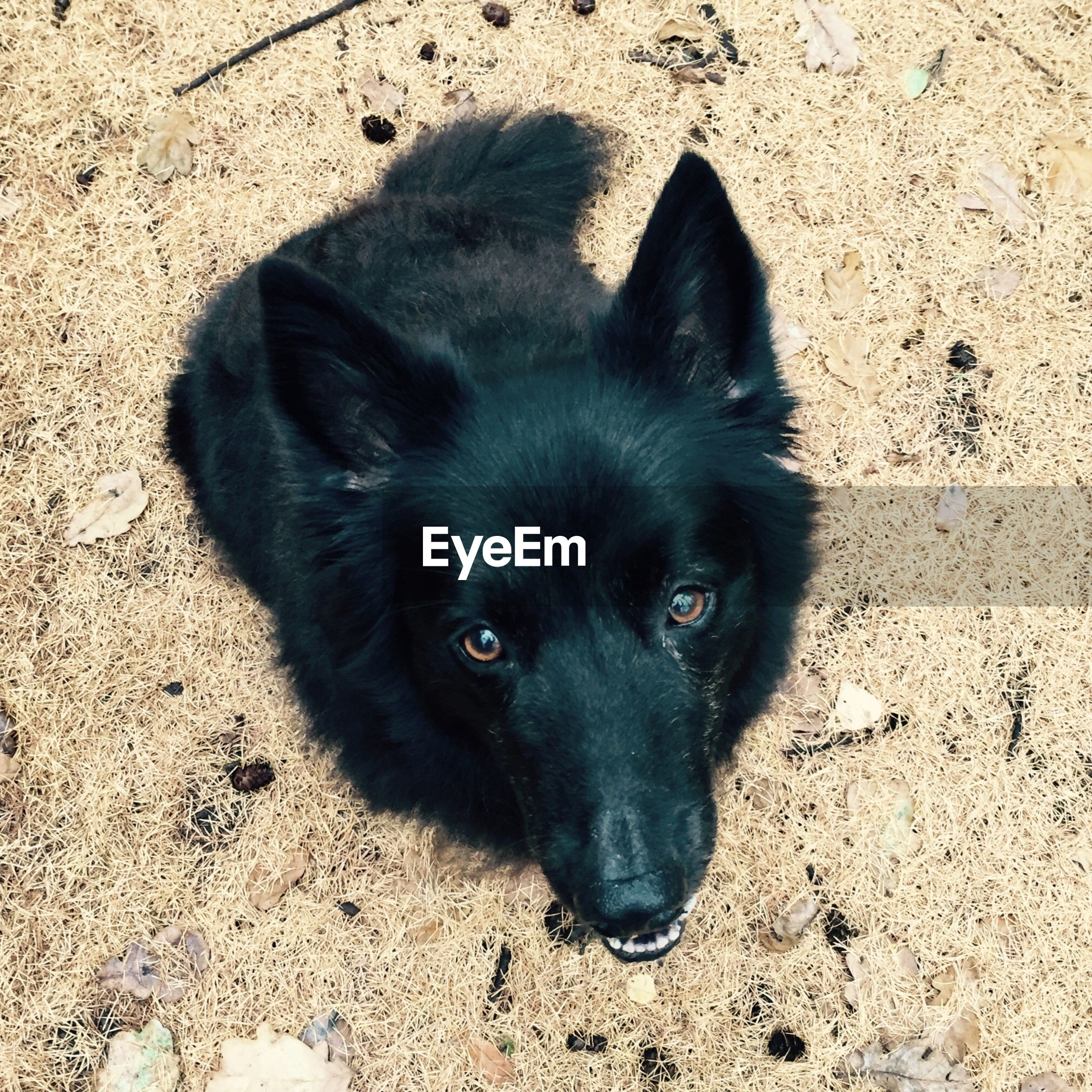 animal themes, one animal, pets, domestic animals, mammal, looking at camera, portrait, black color, dog, high angle view, close-up, animal head, zoology, lying down, alertness, young animal, no people, relaxation, black, vertebrate