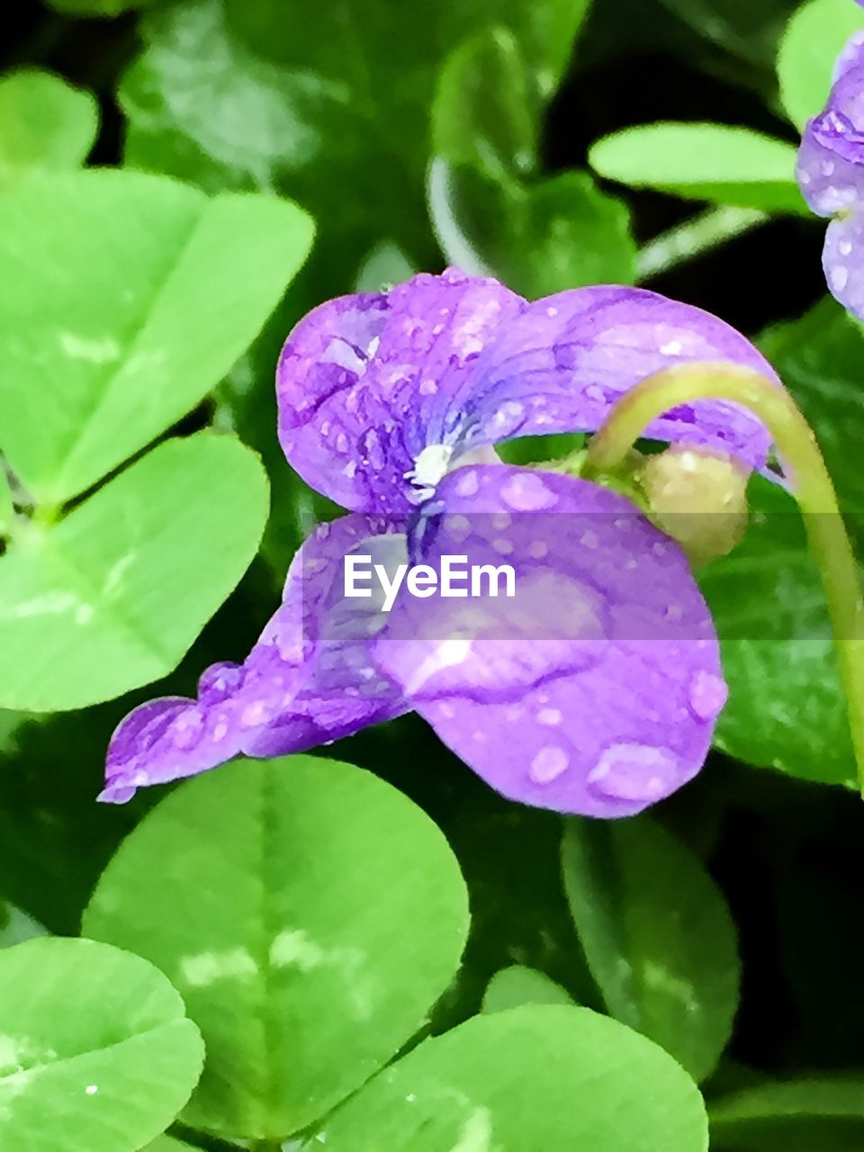 flower, growth, beauty in nature, drop, freshness, nature, fragility, petal, wet, purple, green color, leaf, plant, day, no people, water, outdoors, close-up, flower head, blooming