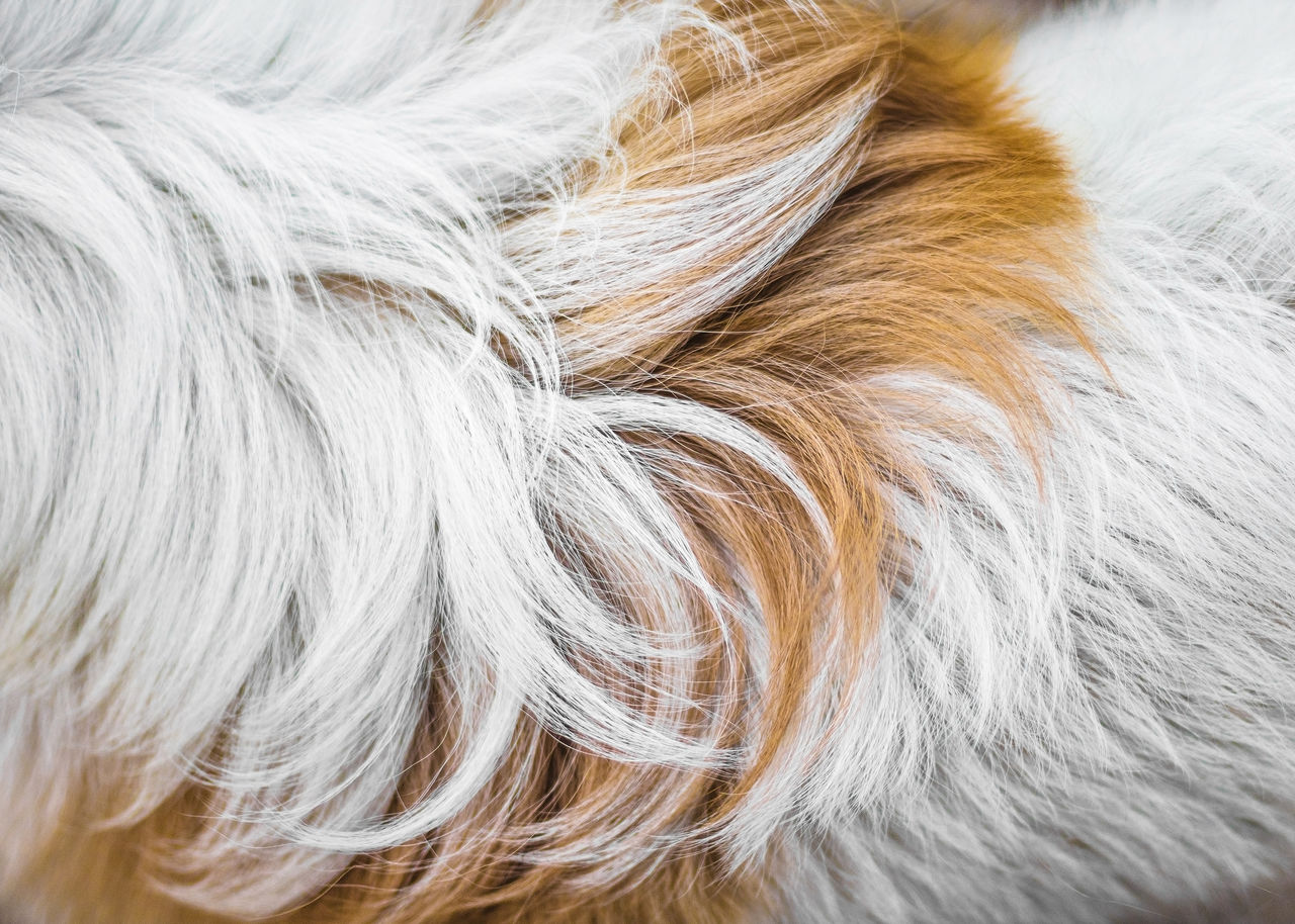 one animal, animal themes, hair, animal, domestic animals, pets, domestic, mammal, animal hair, canine, dog, close-up, no people, vertebrate, animal body part, day, white color, brown, hairstyle, gray hair, animal head