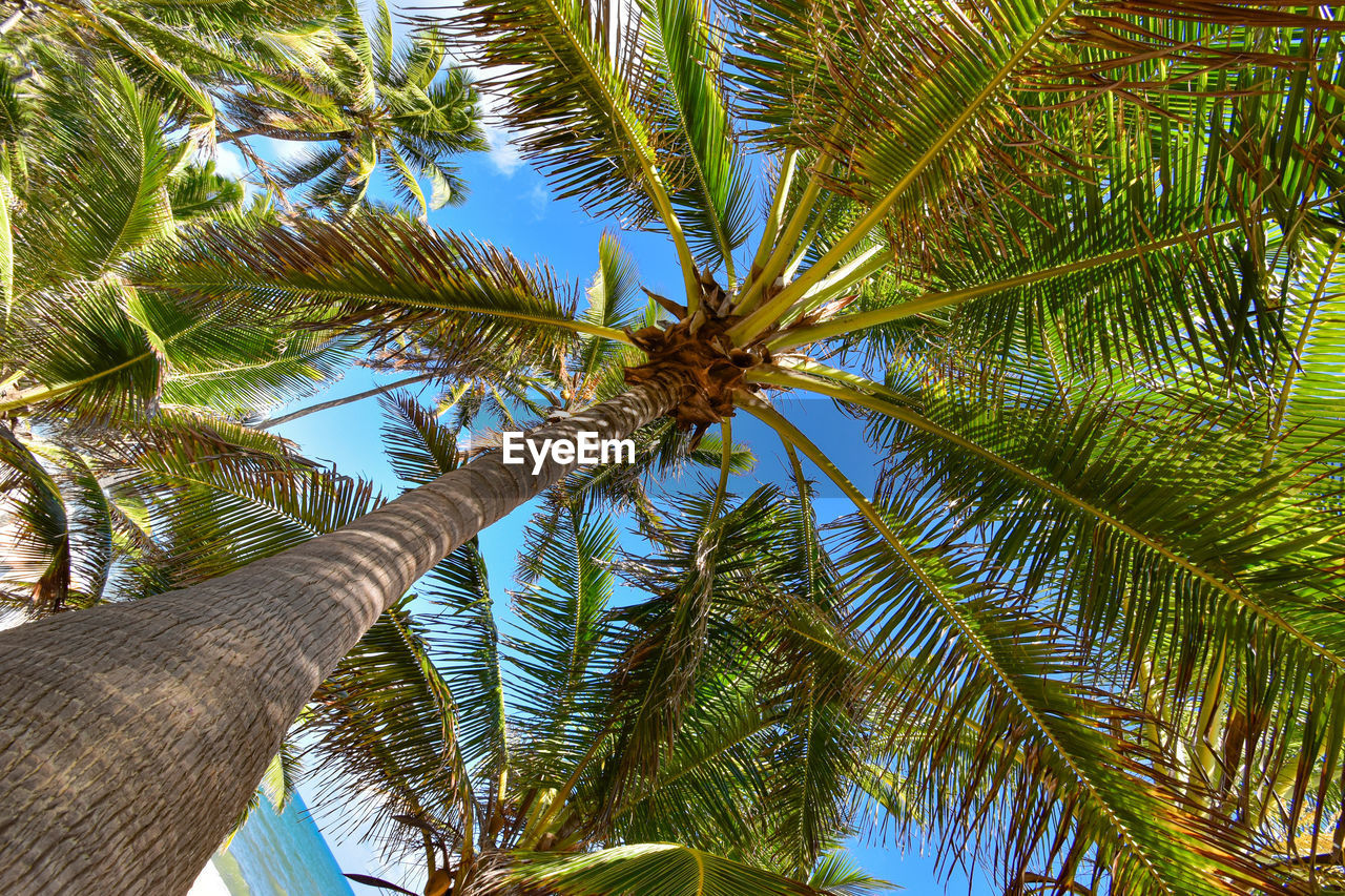tree, plant, tropical climate, palm tree, growth, leaf, green color, low angle view, nature, beauty in nature, day, no people, palm leaf, trunk, tree trunk, tranquility, sky, sunlight, plant part, tropical tree, coconut palm tree, outdoors, directly below