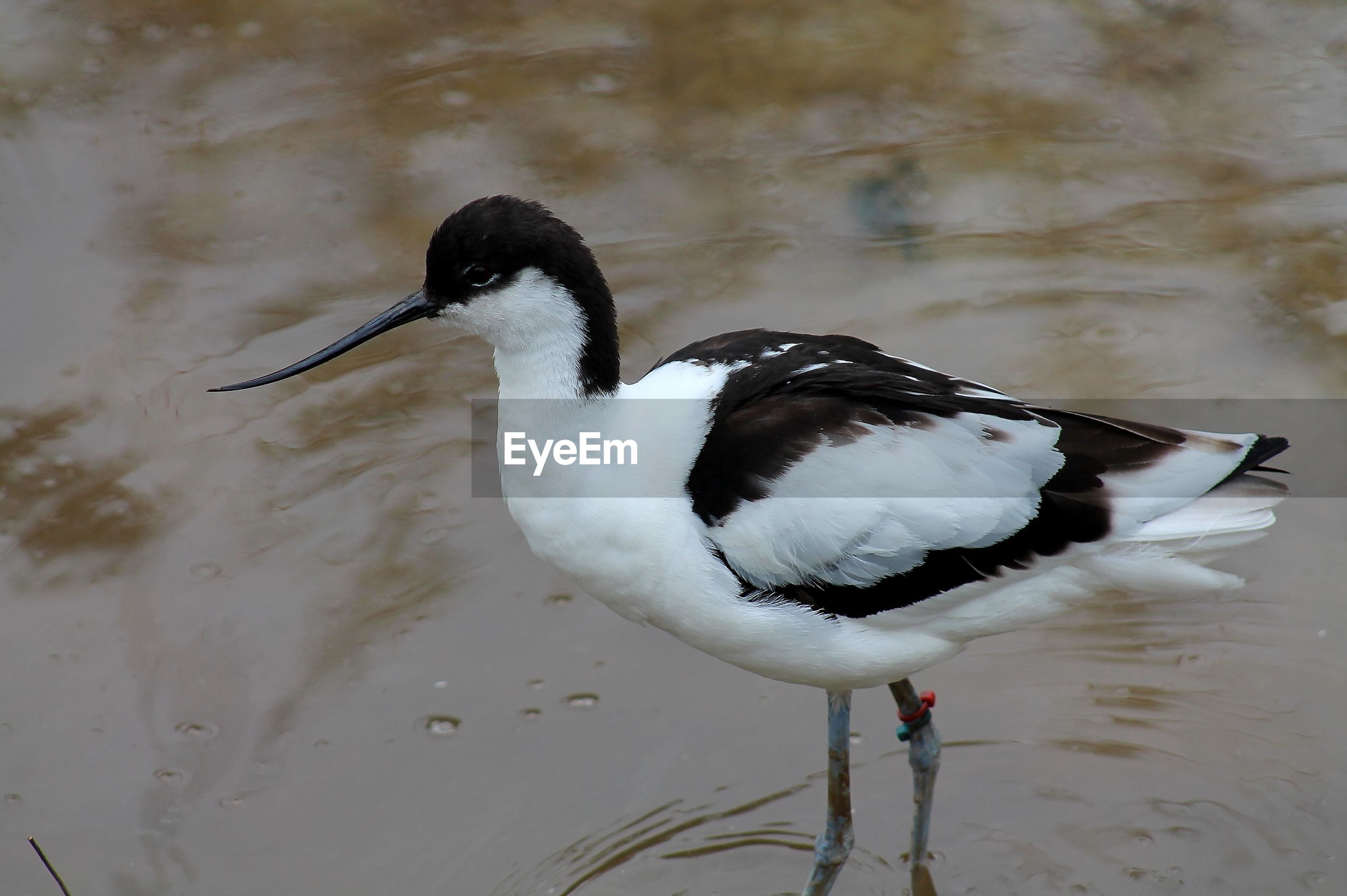 High angle view of avocet in lake