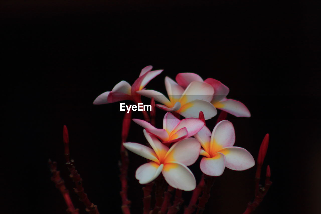petal, flower, black background, beauty in nature, flower head, freshness, fragility, growth, studio shot, nature, blooming, night, no people, plant, close-up, frangipani, outdoors