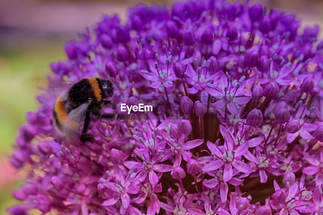 flower, flowering plant, beauty in nature, freshness, petal, purple, fragility, invertebrate, insect, flower head, one animal, close-up, animals in the wild, vulnerability, plant, bee, animal, animal themes, animal wildlife, growth, pollination, no people, bumblebee, pollen, lilac