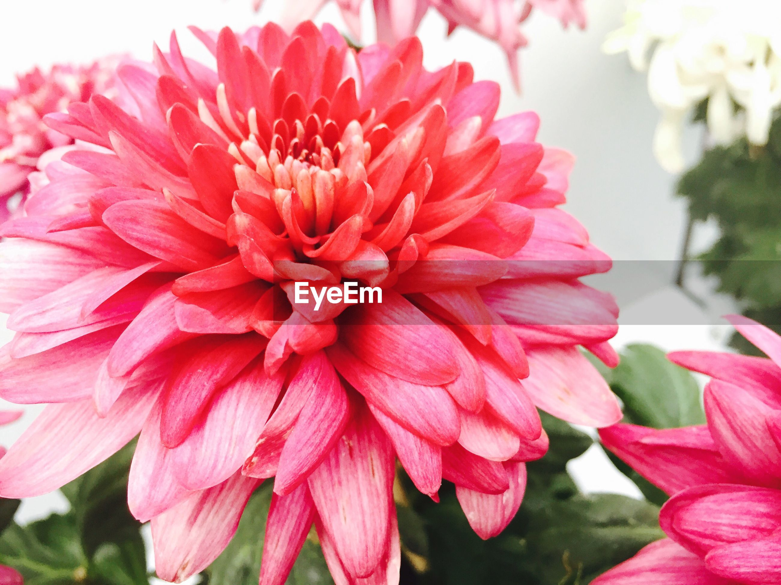 flower, petal, freshness, flower head, fragility, beauty in nature, close-up, growth, blooming, focus on foreground, pink color, red, nature, plant, pollen, in bloom, park - man made space, single flower, day, blossom