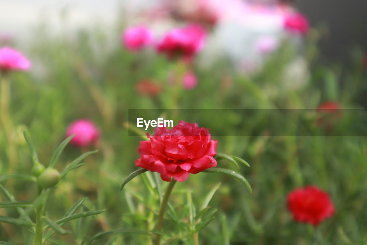 flower, flowering plant, plant, beauty in nature, vulnerability, fragility, freshness, pink color, growth, close-up, petal, red, nature, inflorescence, flower head, no people, field, day, focus on foreground, land, outdoors