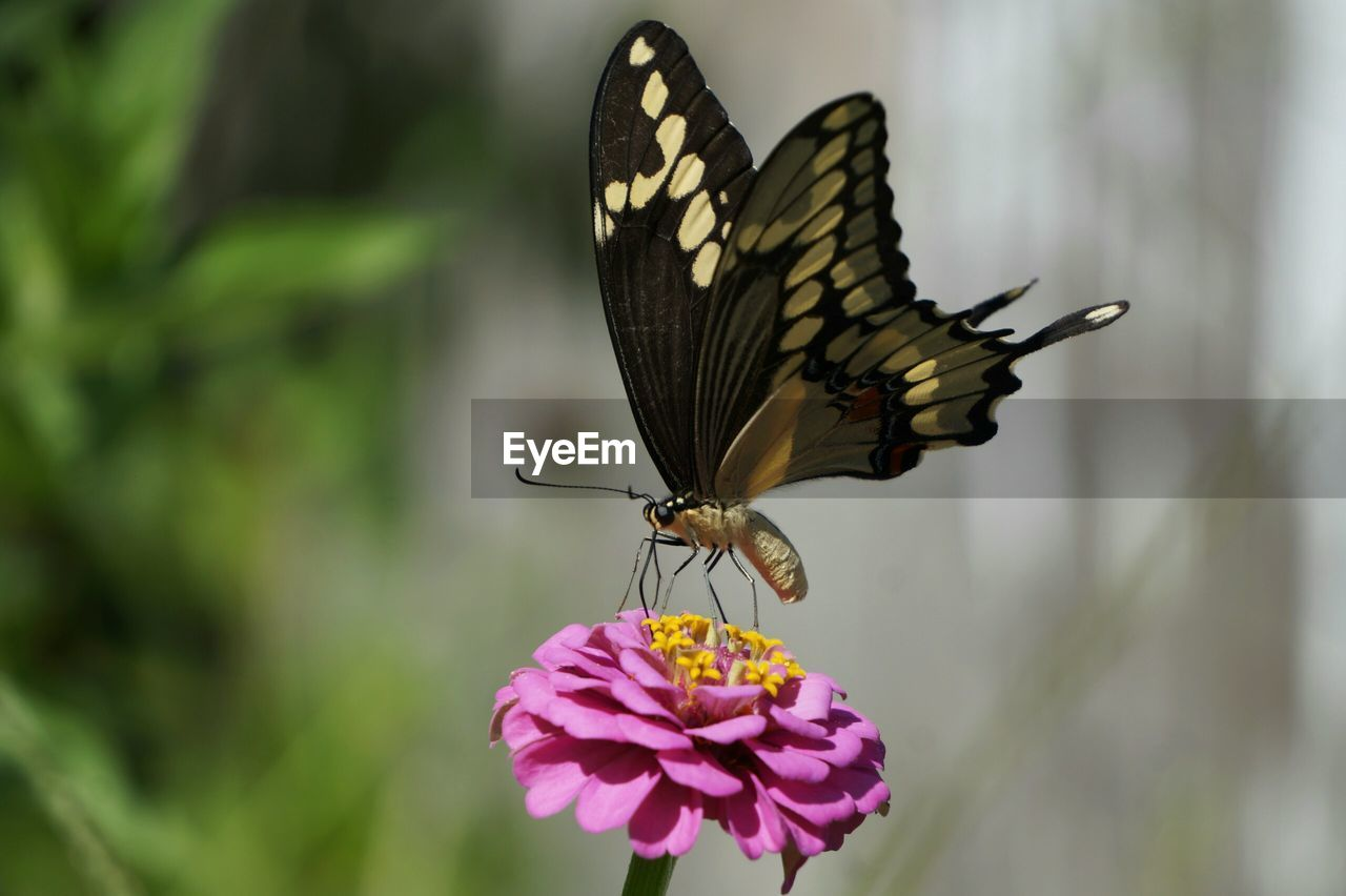 insect, butterfly - insect, nature, animals in the wild, animal themes, beauty in nature, flower, one animal, freshness, no people, outdoors, fragility, day, focus on foreground, plant, animal wildlife, growth, close-up, full length, pollination, flower head, zinnia