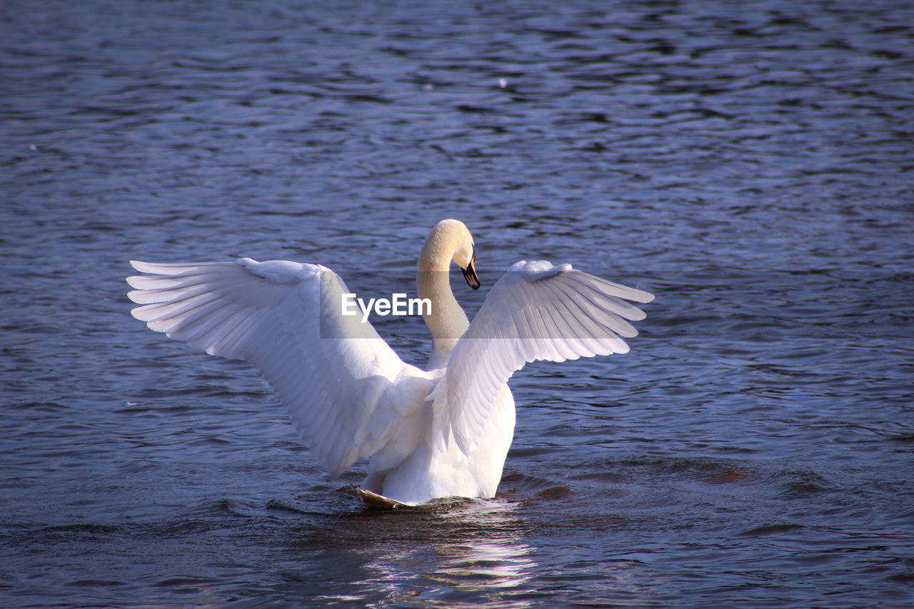 bird, animal, animals in the wild, animal themes, animal wildlife, vertebrate, white color, water, one animal, lake, flying, spread wings, waterfront, swan, water bird, no people, mute swan, nature, beauty in nature, outdoors, flapping, animal wing
