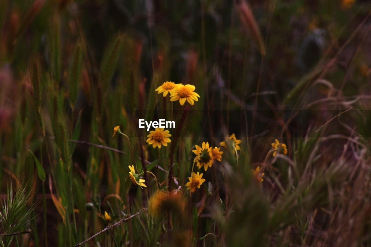 flower, flowering plant, plant, fragility, growth, beauty in nature, vulnerability, freshness, nature, land, flower head, yellow, field, close-up, inflorescence, petal, no people, selective focus, outdoors, day