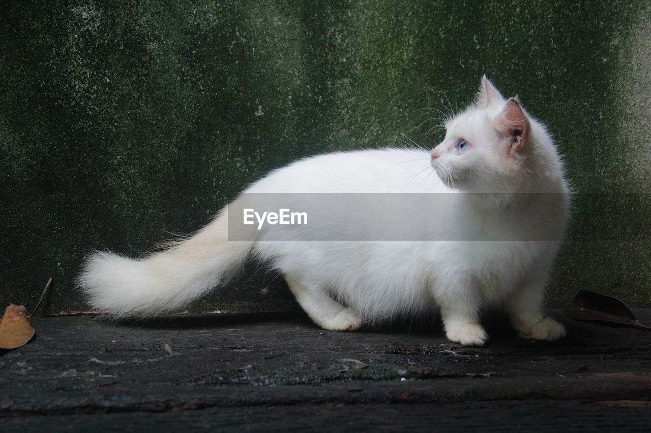 animal, animal themes, domestic, cat, pets, mammal, one animal, domestic cat, feline, domestic animals, vertebrate, white color, no people, whisker, looking, relaxation, wood - material, nature, sitting, day