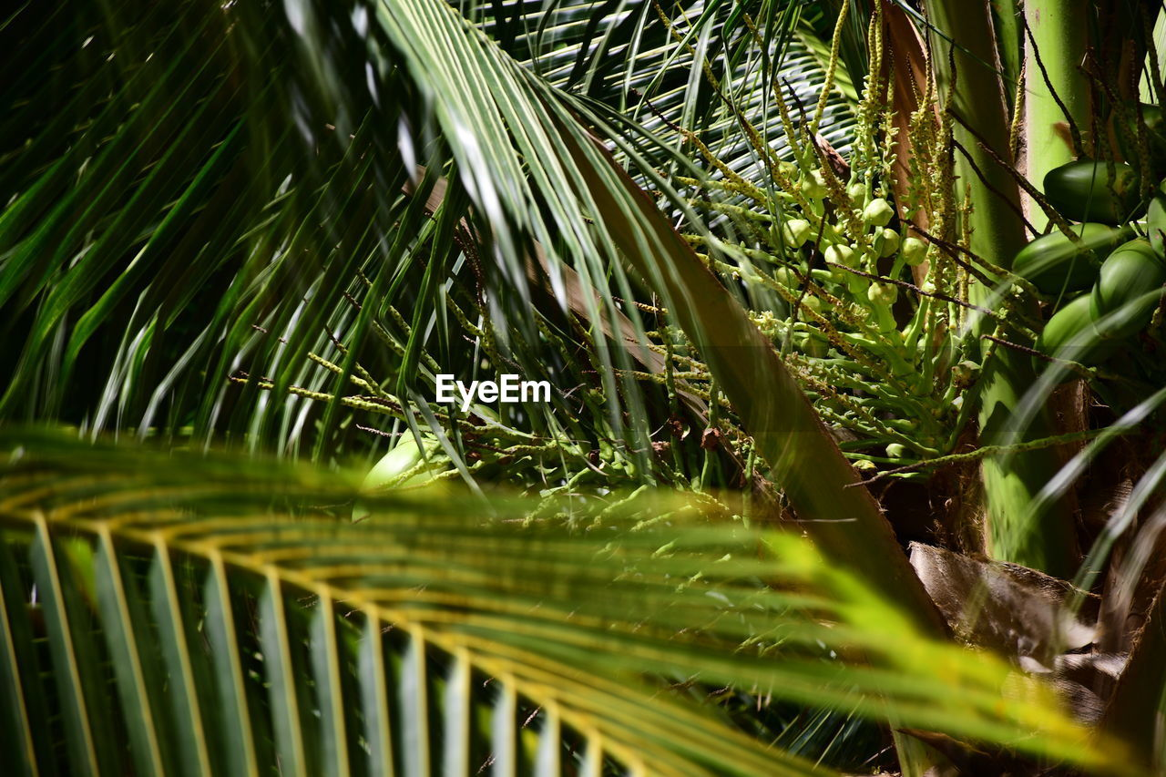 plant, growth, green color, leaf, plant part, selective focus, day, close-up, beauty in nature, nature, tree, no people, outdoors, tranquility, palm leaf, palm tree, focus on foreground, tropical climate, freshness, green, blade of grass