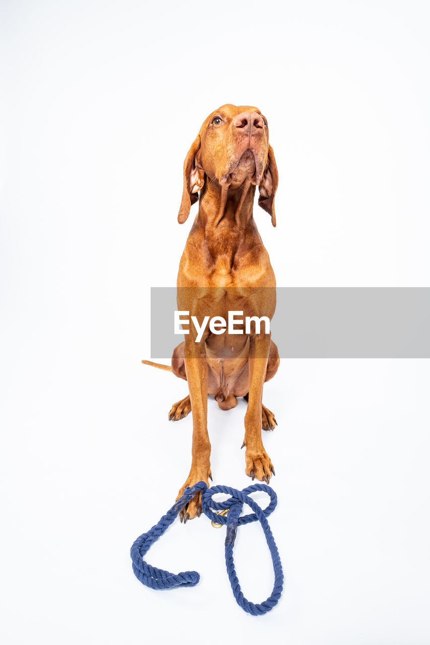 studio shot, white background, animal, indoors, animal themes, mammal, cut out, one animal, domestic, no people, domestic animals, copy space, dog, pets, canine, vertebrate, close-up, front view, art and craft, full length