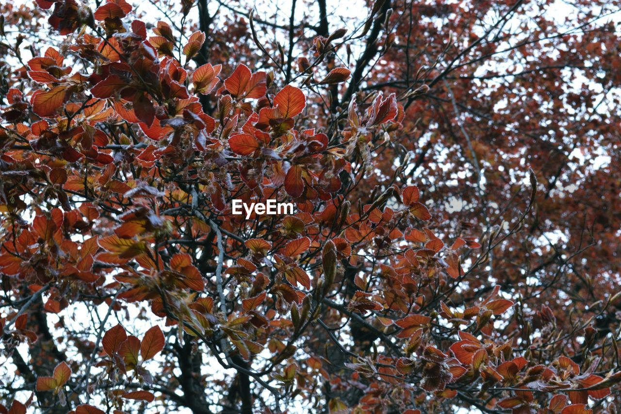 autumn, tree, nature, beauty in nature, growth, leaf, branch, change, day, no people, maple tree, outdoors, low angle view, tranquility, maple leaf, fragility, scenics, flower, freshness, close-up, maple, sky