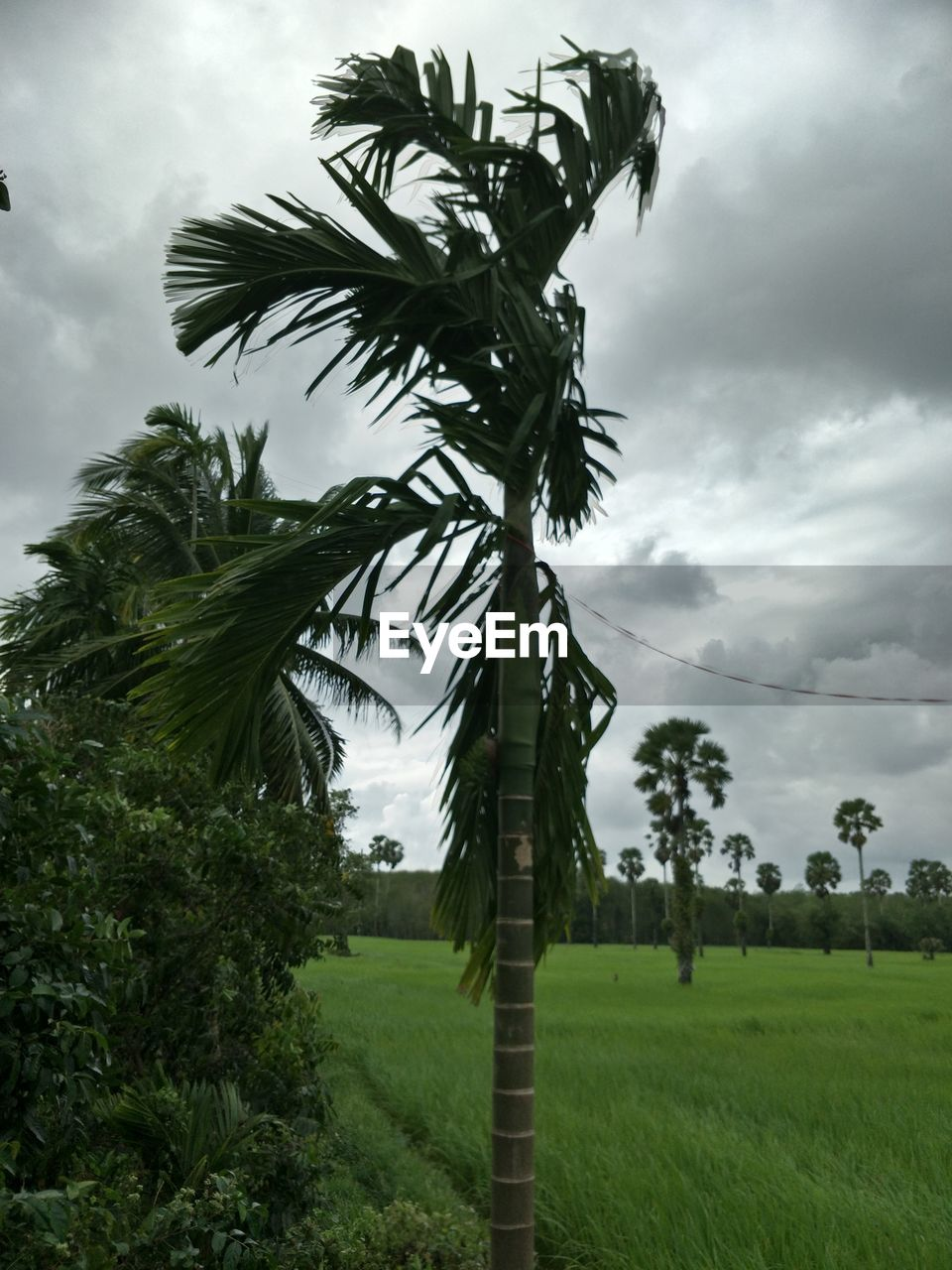 plant, sky, growth, cloud - sky, tree, beauty in nature, tropical climate, green color, palm tree, land, nature, field, environment, tranquility, landscape, day, grass, no people, scenics - nature, tranquil scene, outdoors, coconut palm tree, palm leaf