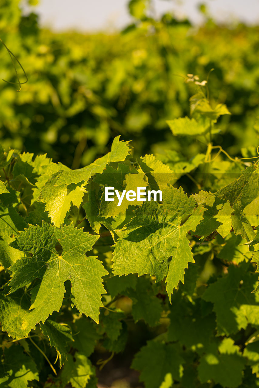 green color, leaf, plant part, plant, growth, no people, nature, food and drink, day, close-up, freshness, food, beauty in nature, selective focus, focus on foreground, healthy eating, outdoors, vegetable, leaves, wellbeing, herb