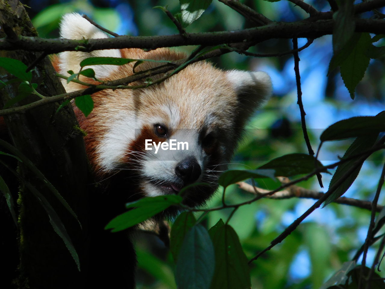 one animal, animal themes, animal, tree, mammal, animal wildlife, plant, red panda, animals in the wild, branch, focus on foreground, leaf, plant part, vertebrate, panda - animal, nature, no people, day, close-up, looking, outdoors, animal head, whisker, bamboo - plant