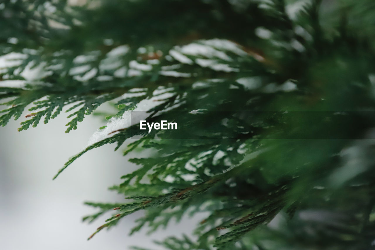 plant, green color, water, close-up, nature, wet, plant part, selective focus, no people, leaf, growth, drop, tree, day, beauty in nature, rain, raindrop, outdoors, pine tree, leaves, rainy season, needle - plant part, coniferous tree, fir tree
