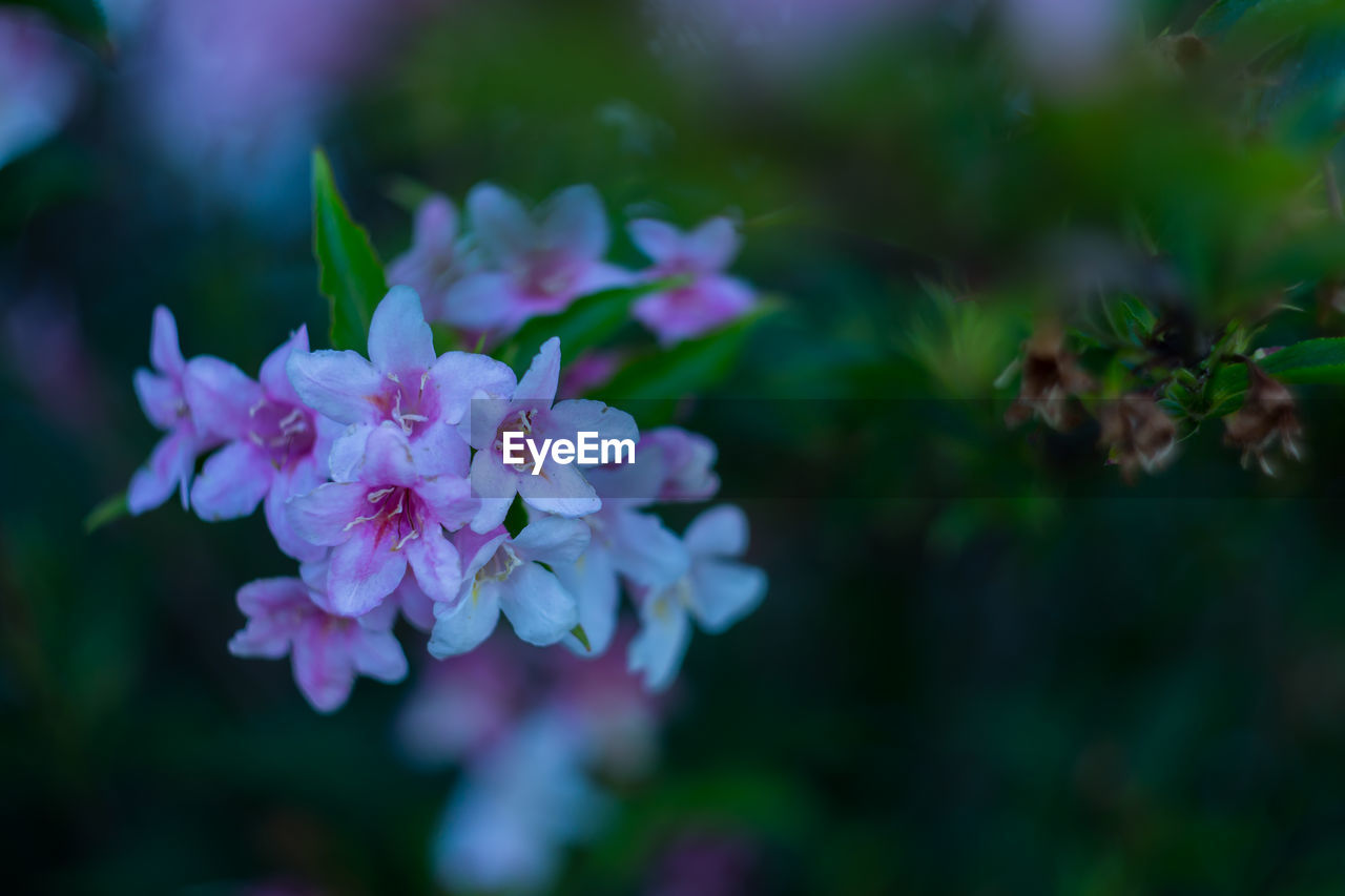 flower, flowering plant, fragility, vulnerability, plant, beauty in nature, petal, freshness, growth, close-up, flower head, selective focus, inflorescence, nature, day, no people, pink color, outdoors, botany, park, purple, spring, lilac