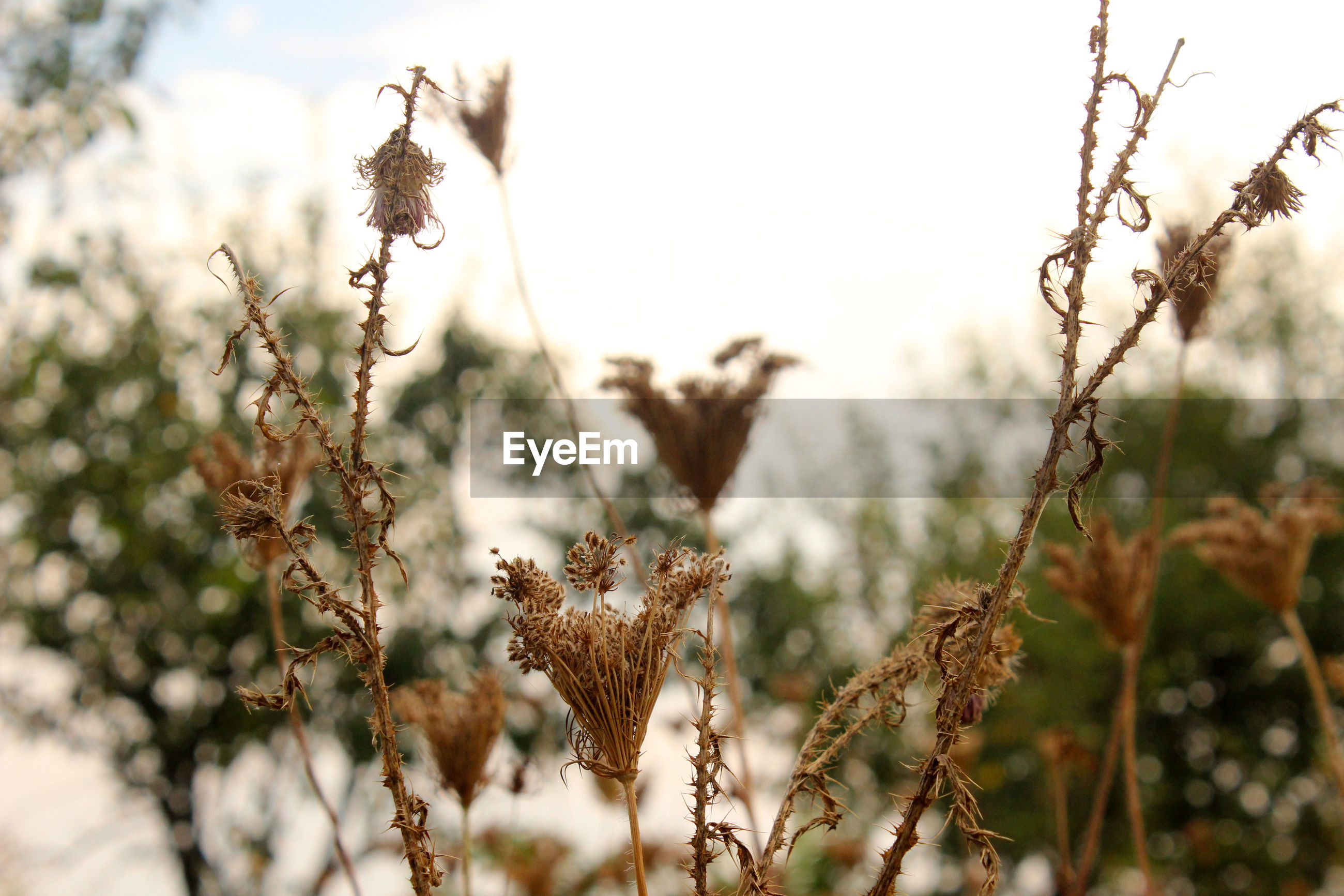 CLOSE-UP OF DRIED PLANT ON SNOW FIELD