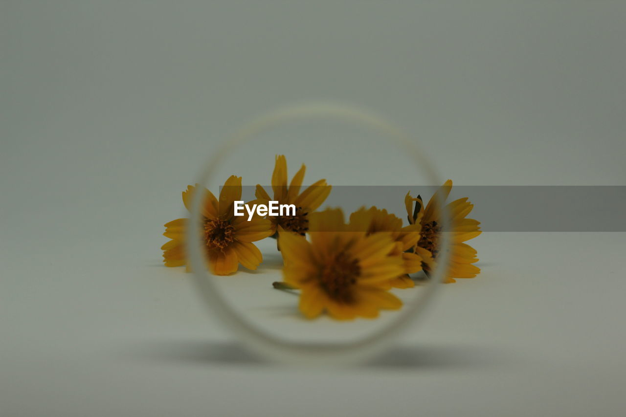 flower, flowering plant, plant, freshness, fragility, studio shot, vulnerability, beauty in nature, petal, flower head, indoors, inflorescence, close-up, nature, no people, copy space, yellow, growth, pollen, white background