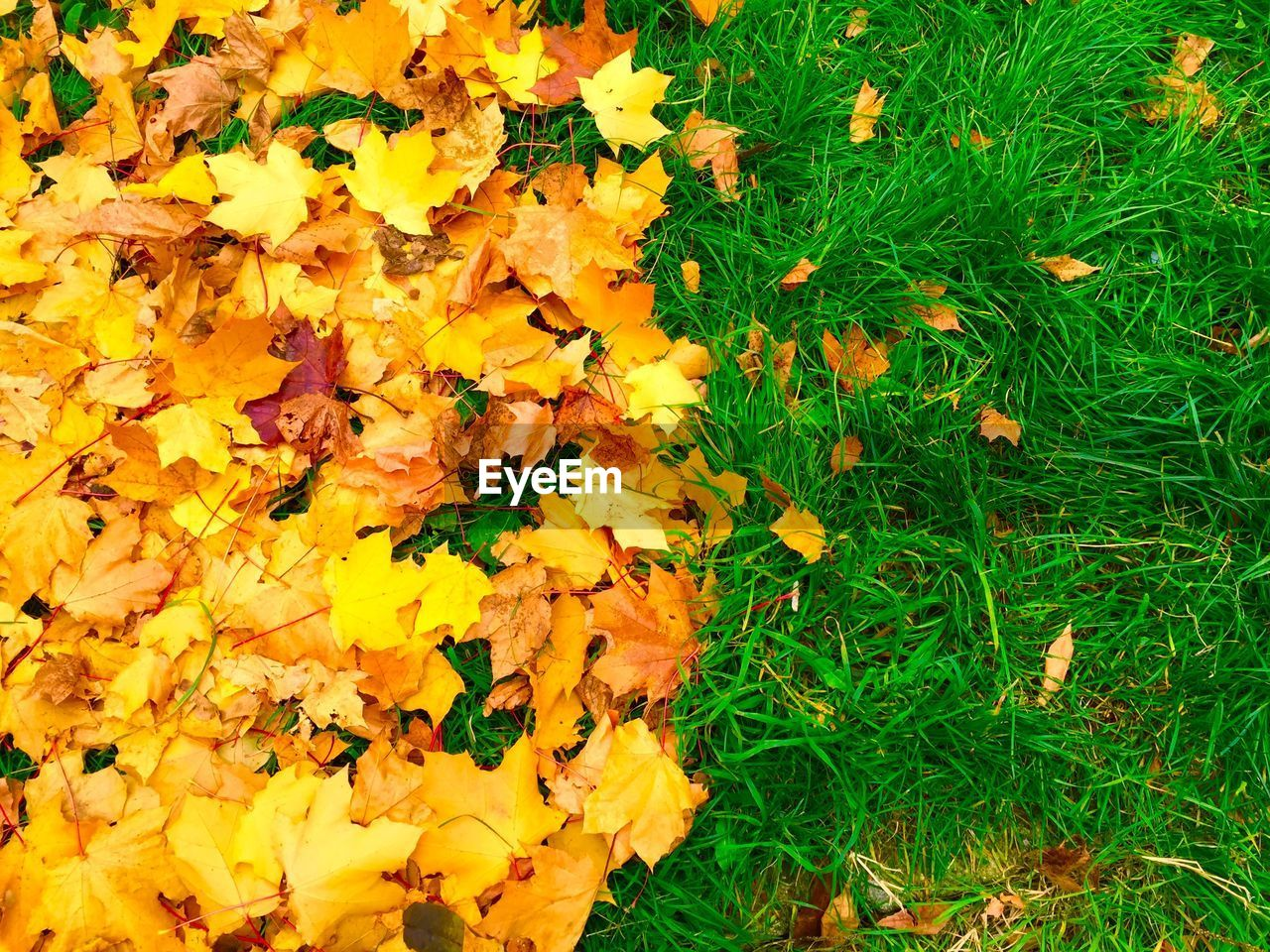 autumn, leaf, yellow, change, nature, leaves, fragility, flower, beauty in nature, abundance, growth, field, grass, no people, maple leaf, backgrounds, outdoors, day, tranquility, maple, close-up, freshness