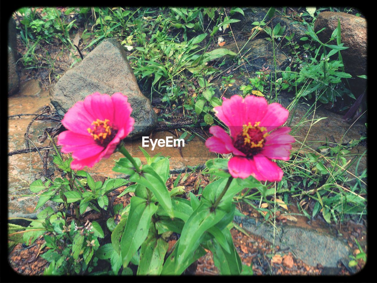 flower, growth, plant, nature, pink color, no people, outdoors, fragility, blooming, freshness, beauty in nature, flower head, close-up, day