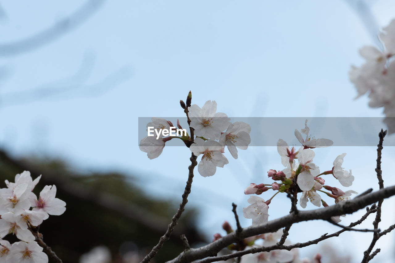 plant, flower, flowering plant, tree, vulnerability, fragility, beauty in nature, growth, freshness, blossom, white color, branch, petal, close-up, nature, focus on foreground, springtime, day, flower head, no people, cherry blossom, outdoors, cherry tree, pollen, spring