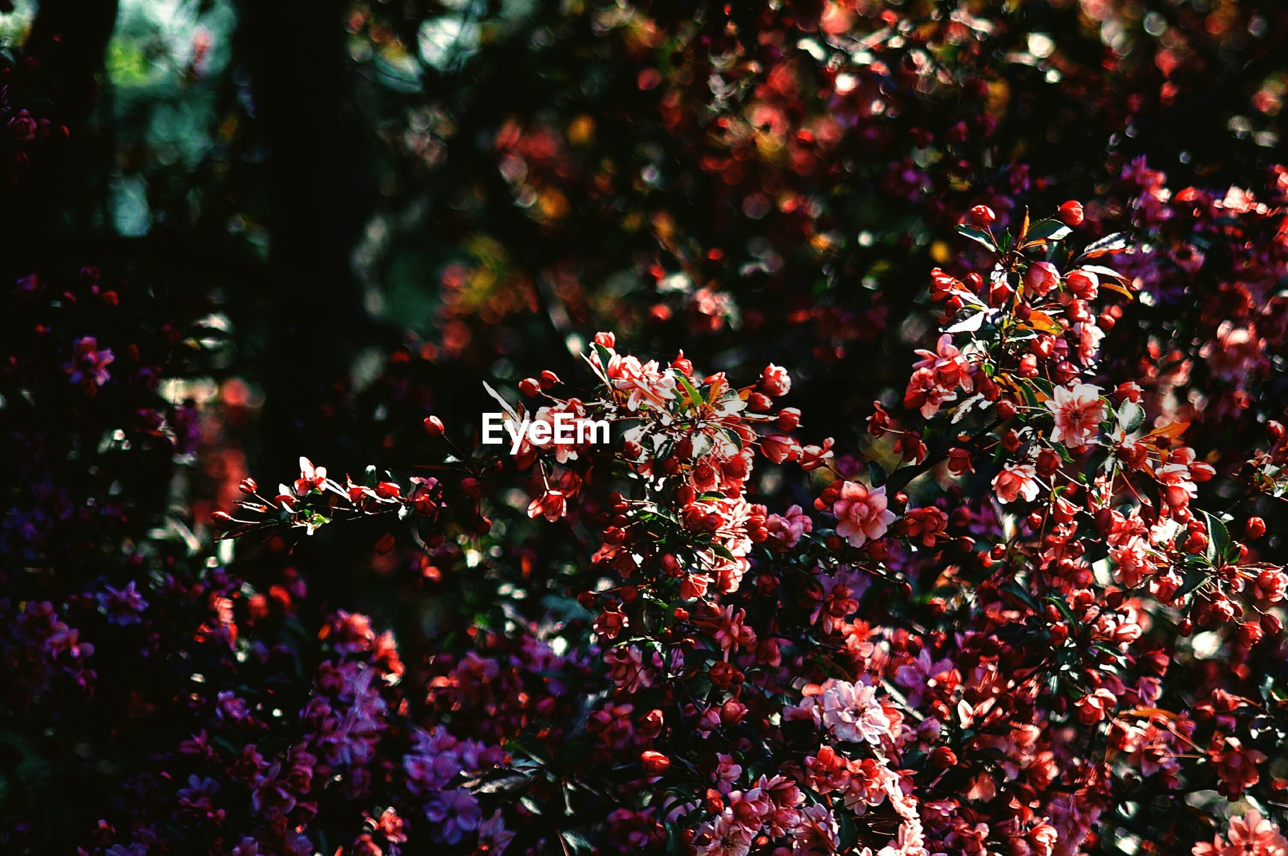 PINK FLOWERS GROWING ON TREE