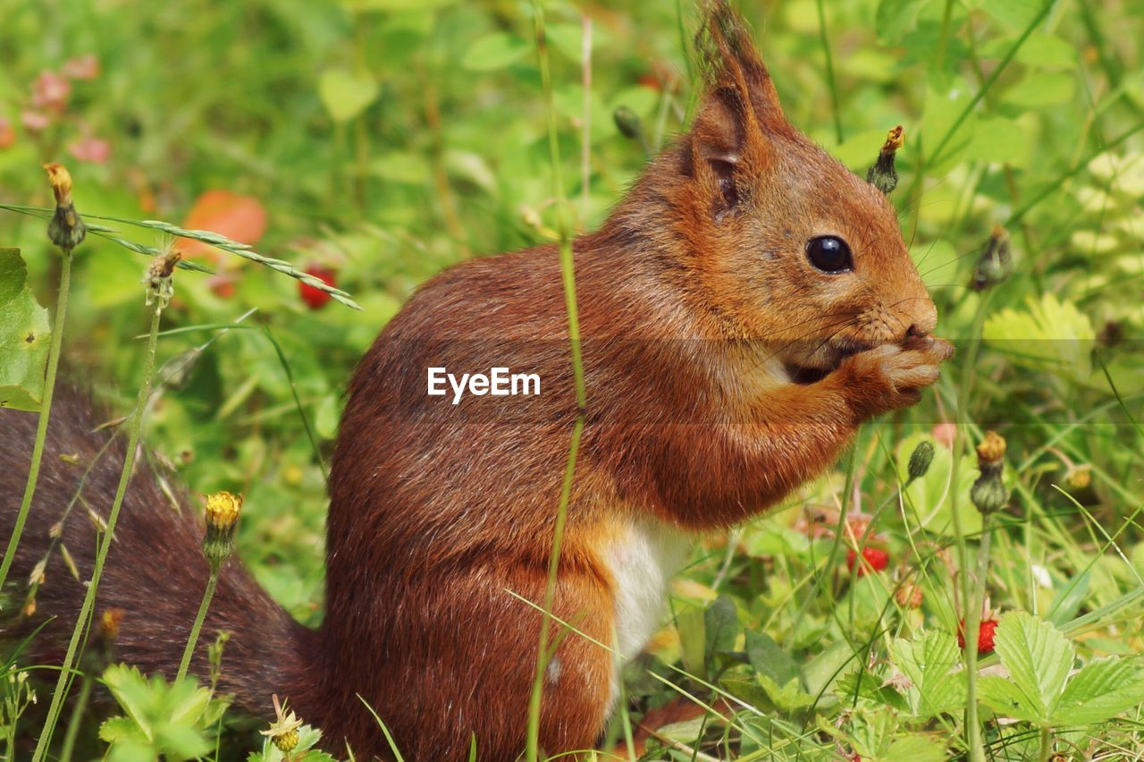 Close-Up Of Red Squirrel On Field