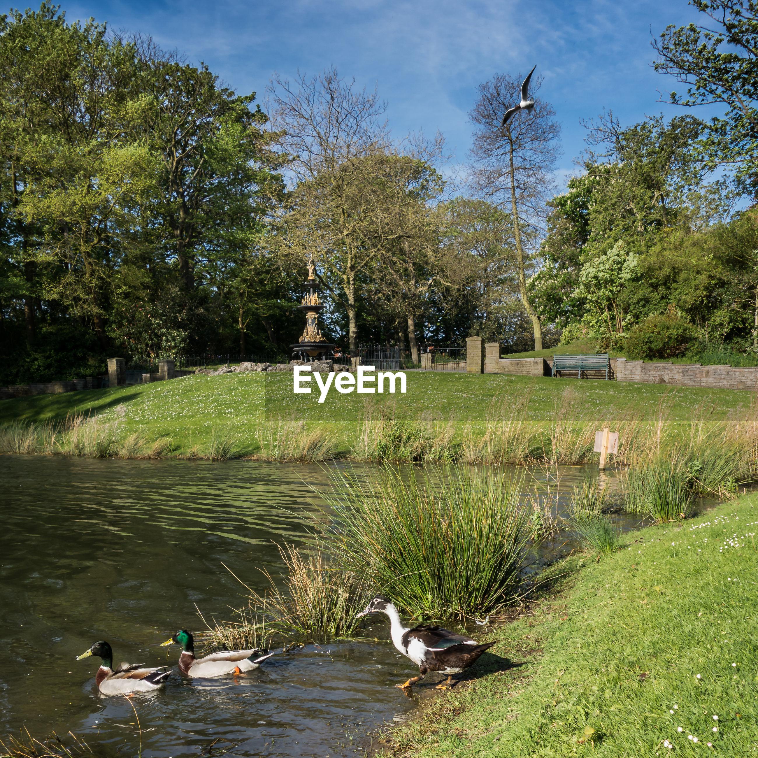 Ducks on lake at park