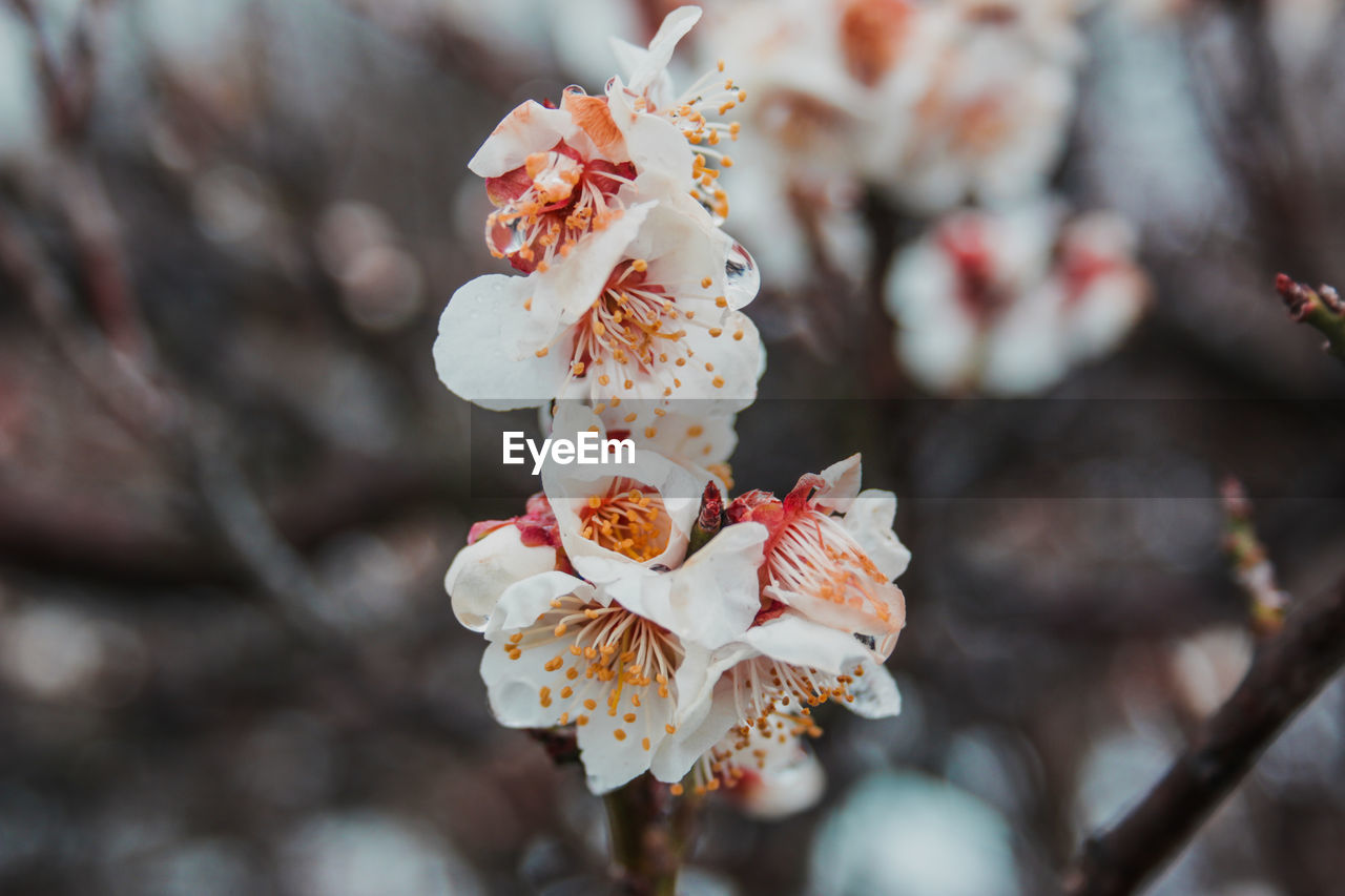 flower, fragility, blossom, cherry blossom, petal, freshness, beauty in nature, white color, springtime, tree, nature, apple blossom, growth, orchard, botany, no people, flower head, plum blossom, close-up, day, pollen, branch, stamen, selective focus, outdoors, focus on foreground, blooming