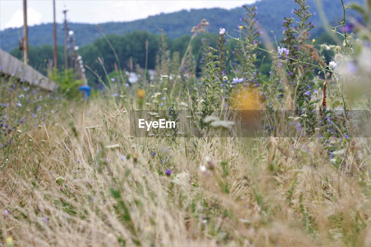 plant, growth, field, land, flower, nature, flowering plant, beauty in nature, selective focus, environment, day, no people, tranquility, freshness, fragility, vulnerability, mountain, grass, landscape, outdoors, bright