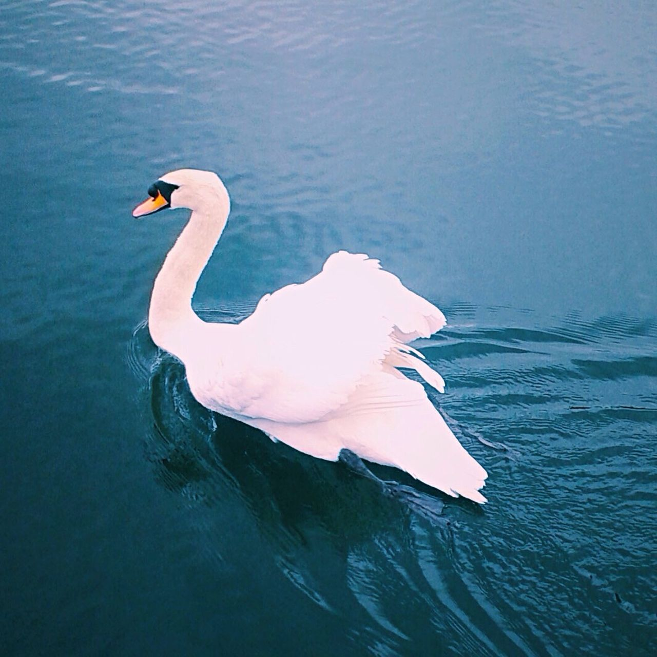 water, one animal, waterfront, animal themes, lake, animals in the wild, swan, day, nature, bird, outdoors, no people, animal wildlife, swimming, beauty in nature