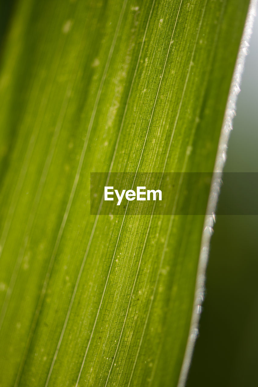 green color, close-up, growth, nature, day, no people, backgrounds, outdoors, plant, banana leaf, freshness