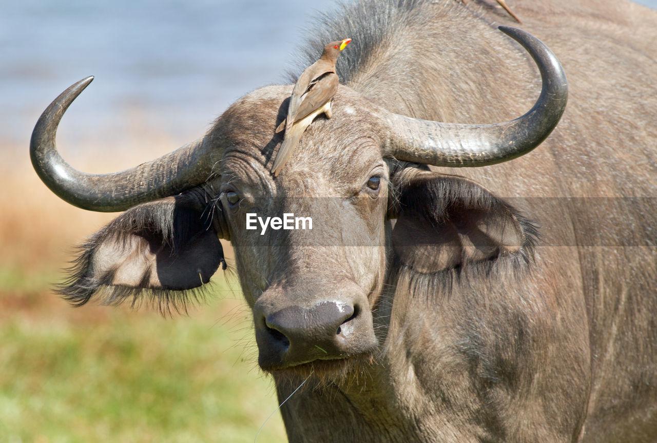 Close-up portrait of buffalo