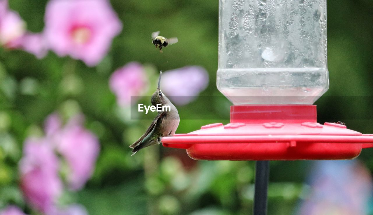 animal themes, animals in the wild, animal wildlife, animal, focus on foreground, one animal, hummingbird, bird, vertebrate, bird feeder, close-up, day, no people, flying, nature, mid-air, plant, motion, red, insect