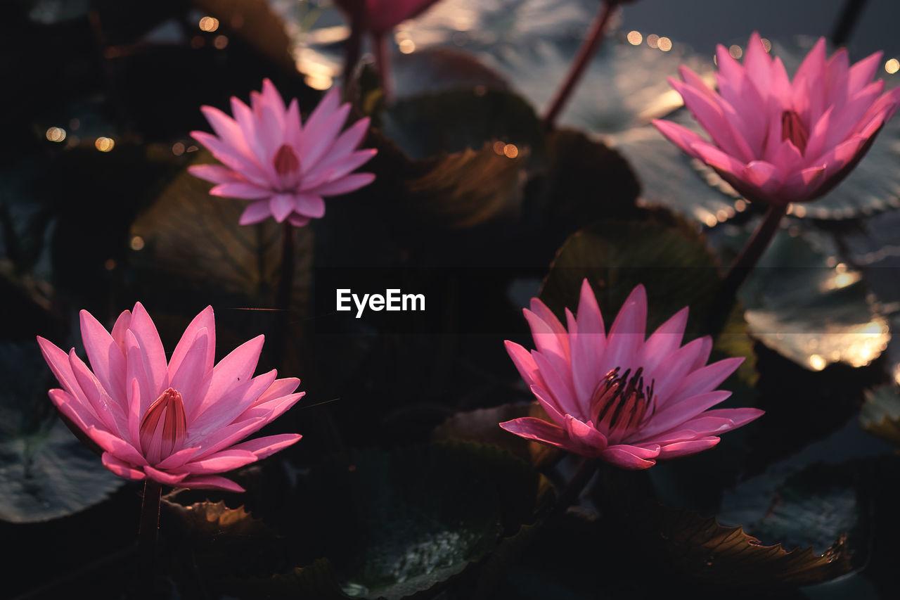 Pink lotus flowers.