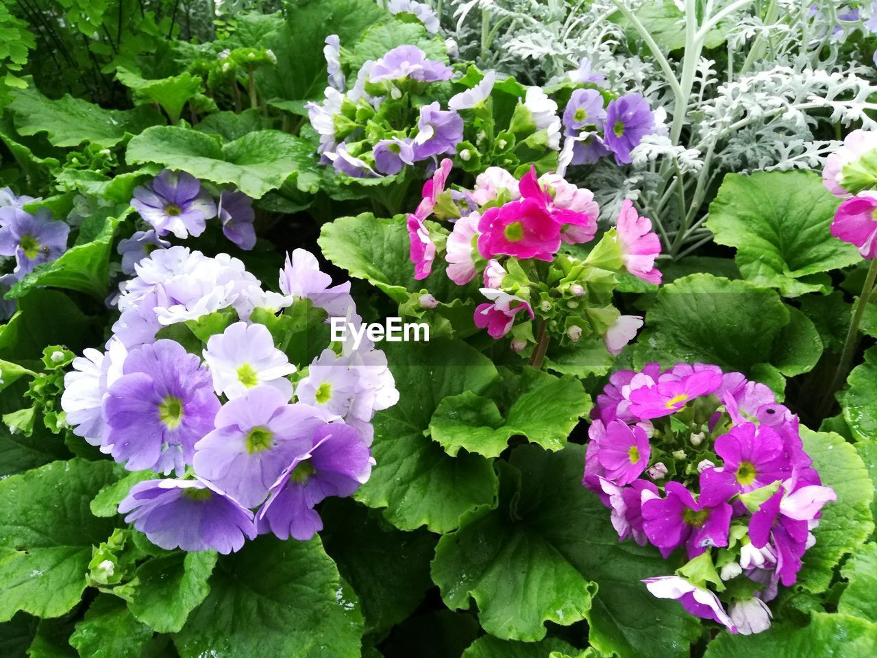 flowering plant, flower, plant, beauty in nature, freshness, vulnerability, growth, fragility, leaf, plant part, petal, inflorescence, flower head, nature, close-up, green color, day, no people, outdoors, pink color, purple, springtime