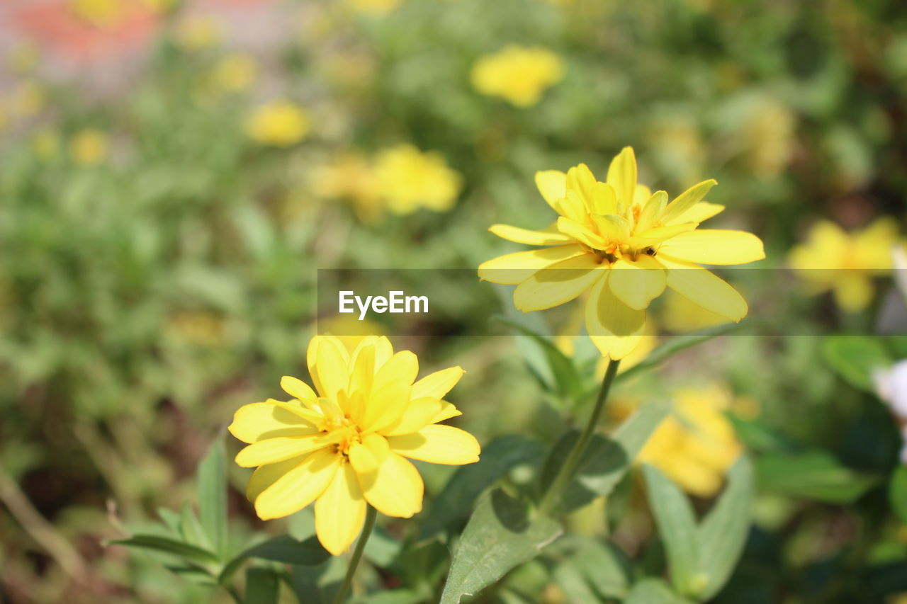 flowering plant, flower, yellow, vulnerability, fragility, plant, beauty in nature, freshness, petal, growth, flower head, inflorescence, close-up, no people, nature, day, focus on foreground, outdoors, selective focus, field