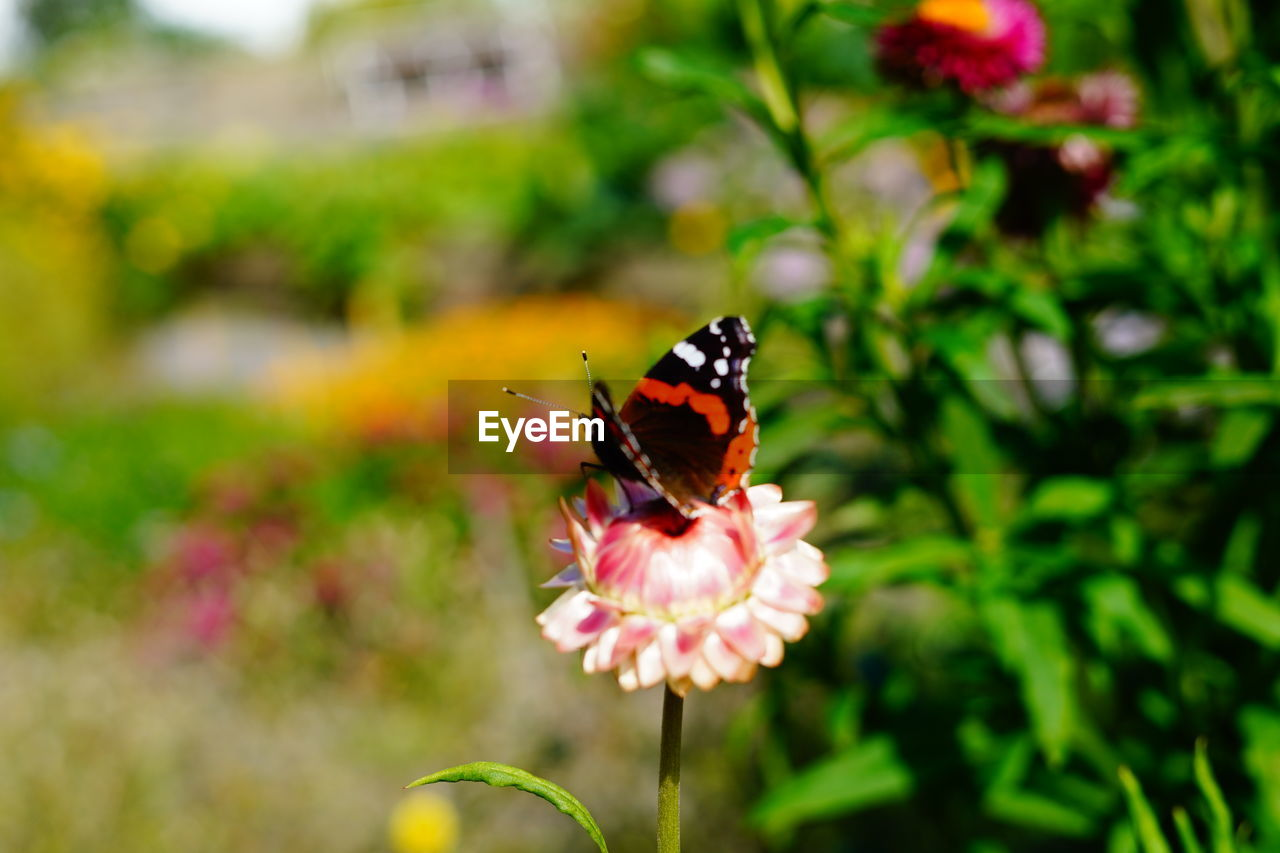 flower, flowering plant, insect, animal themes, invertebrate, one animal, animal, plant, animals in the wild, animal wildlife, beauty in nature, fragility, vulnerability, freshness, petal, animal wing, butterfly - insect, growth, flower head, focus on foreground, pollination, no people, butterfly