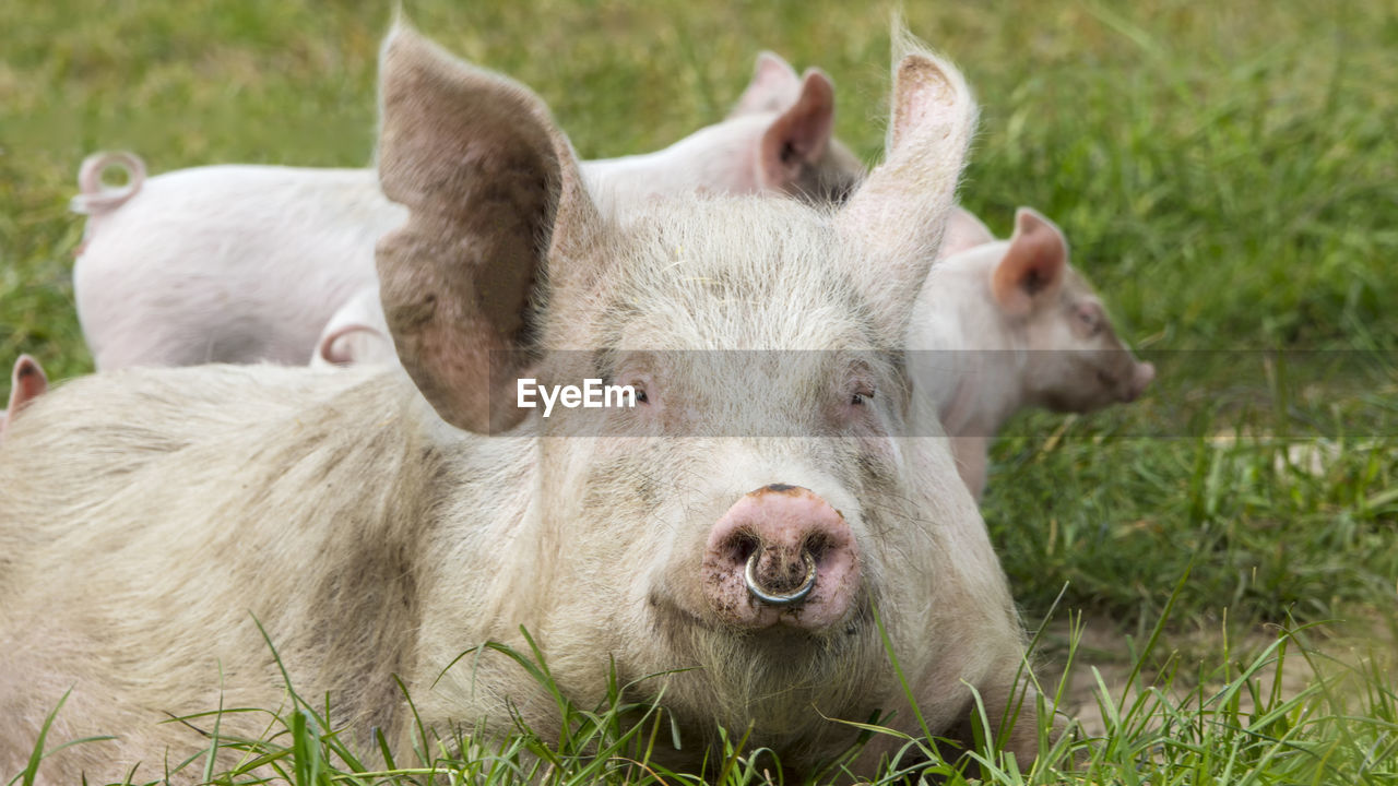 mammal, animal themes, animal, grass, livestock, domestic animals, plant, pig, group of animals, pets, domestic, close-up, no people, nature, day, animal body part, field, portrait, focus on foreground, vertebrate, outdoors, animal head, snout, herbivorous, animal family