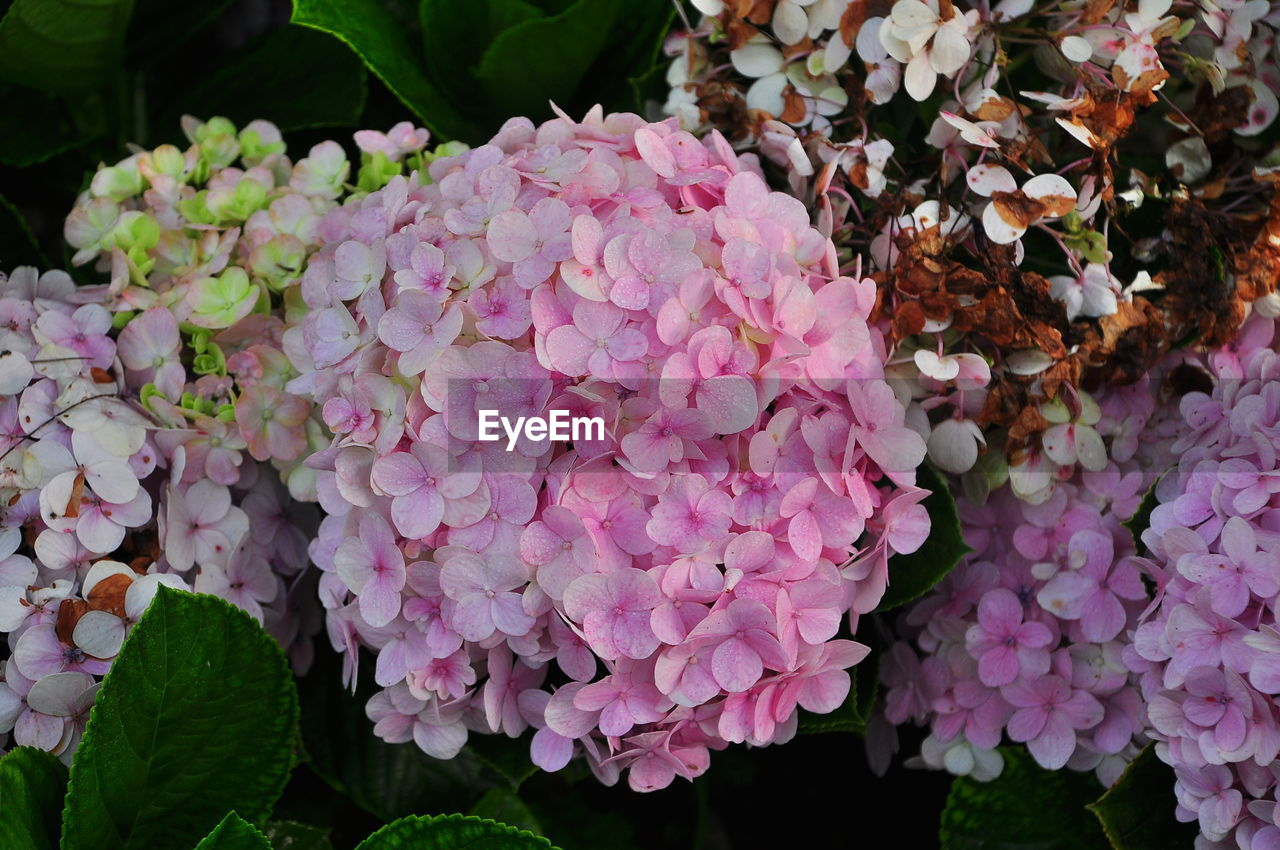 flower, nature, beauty in nature, fragility, leaf, growth, plant, petal, outdoors, hydrangea, no people, day, freshness, flower head, blooming, close-up