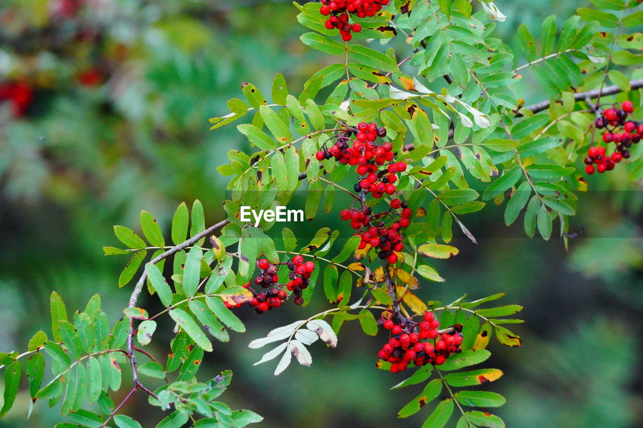 growth, fruit, healthy eating, plant, berry fruit, plant part, food and drink, leaf, red, freshness, food, day, green color, focus on foreground, beauty in nature, nature, no people, close-up, wellbeing, tree, rowanberry, outdoors, ripe