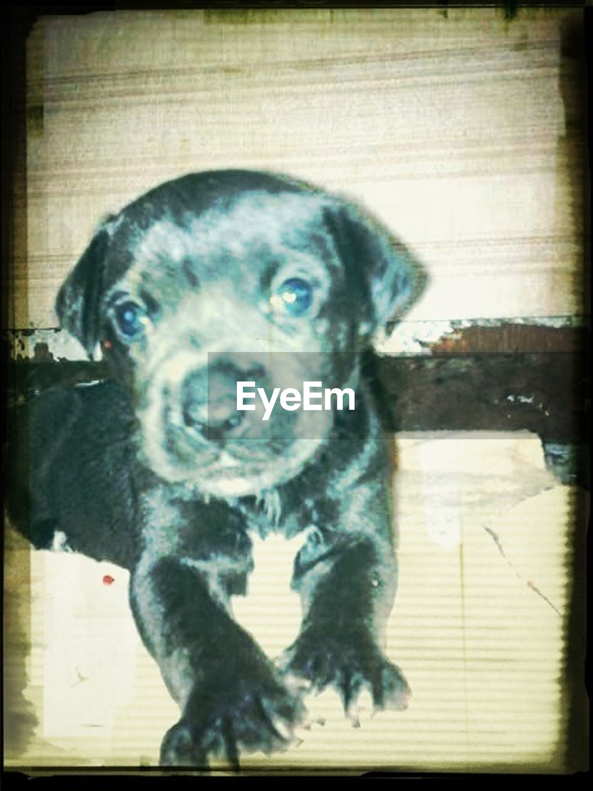 transfer print, pets, dog, auto post production filter, domestic animals, animal themes, one animal, mammal, portrait, looking at camera, indoors, close-up, front view, sitting, animal head, high angle view, black color, no people, home interior, wood - material