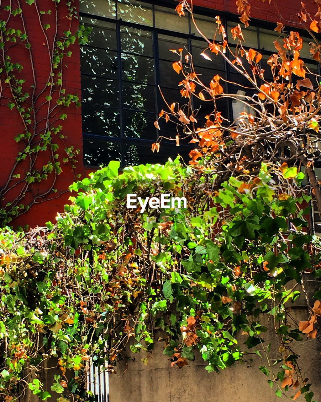 growth, plant, leaf, ivy, nature, no people, day, green color, outdoors, beauty in nature, tree, close-up, architecture, freshness