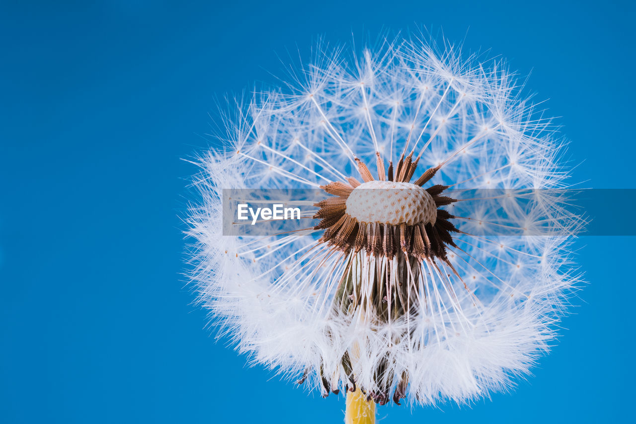 flower, flowering plant, dandelion, close-up, inflorescence, fragility, blue, vulnerability, flower head, beauty in nature, plant, nature, no people, freshness, dandelion seed, softness, studio shot, growth, white color, outdoors, pollen, blue background