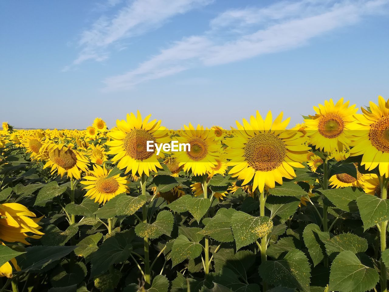 flower, flowering plant, yellow, growth, plant, beauty in nature, freshness, vulnerability, fragility, flower head, sky, petal, inflorescence, nature, sunflower, field, day, plant part, leaf, close-up, no people, outdoors, flowerbed