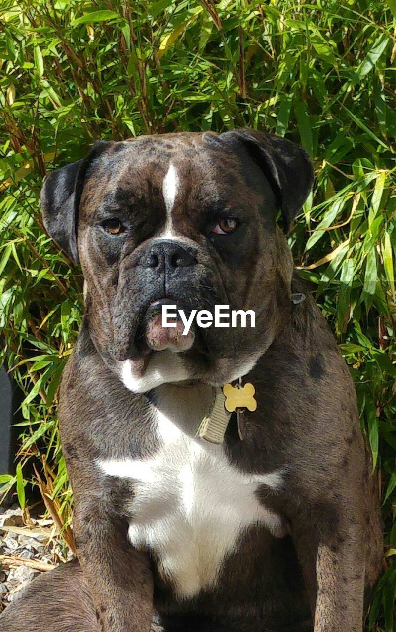 Portrait of english bulldog against plants