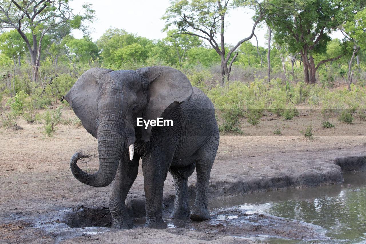elephant, tree, animal themes, animal, plant, animal wildlife, animals in the wild, mammal, nature, animal trunk, day, water, safari, no people, animal body part, vertebrate, african elephant, one animal, tusk, outdoors, herbivorous