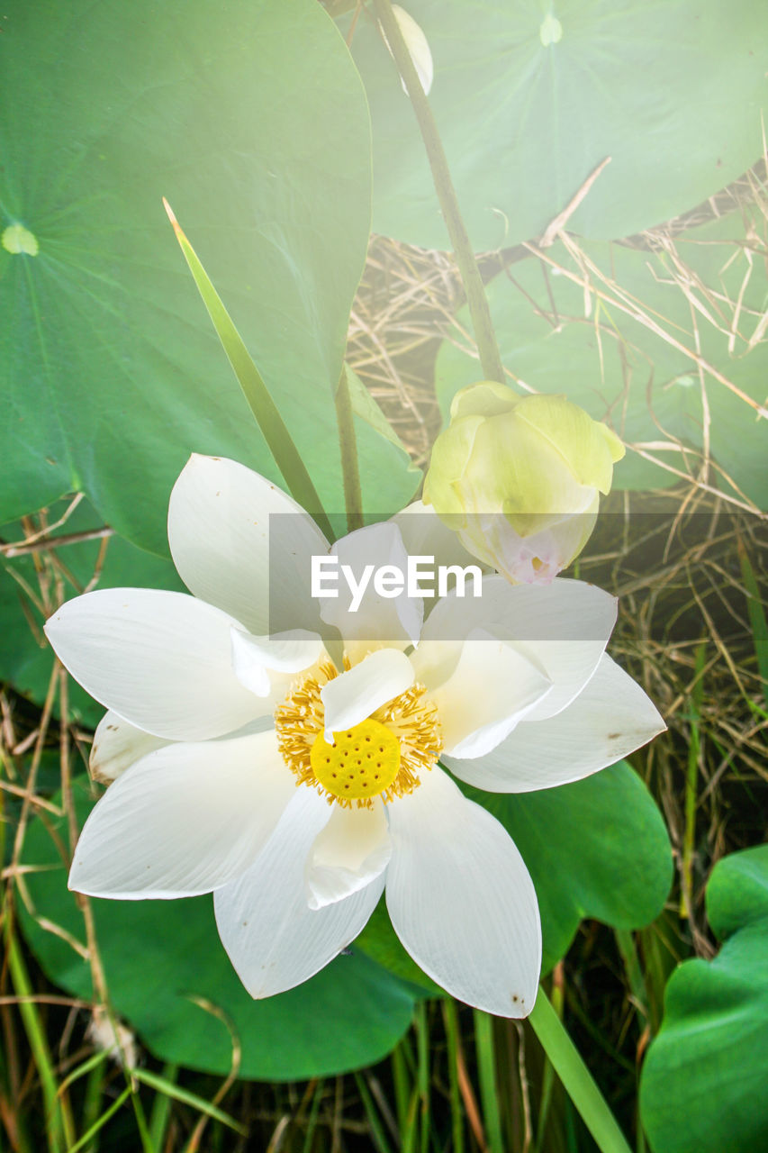 flower, flowering plant, plant, beauty in nature, freshness, petal, growth, vulnerability, fragility, close-up, white color, flower head, inflorescence, nature, plant part, leaf, no people, day, focus on foreground, pollen, springtime